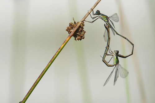 Green Emerald Damselfly