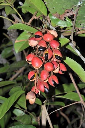 Connarus conchocarpus