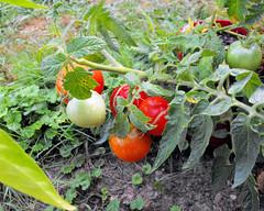 tomatoes 20100908_2