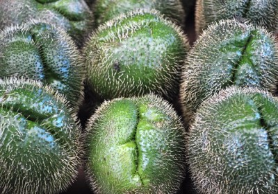 Spiny Chayote