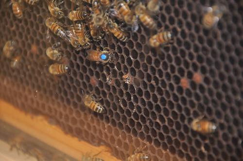 Queen & hatching bees