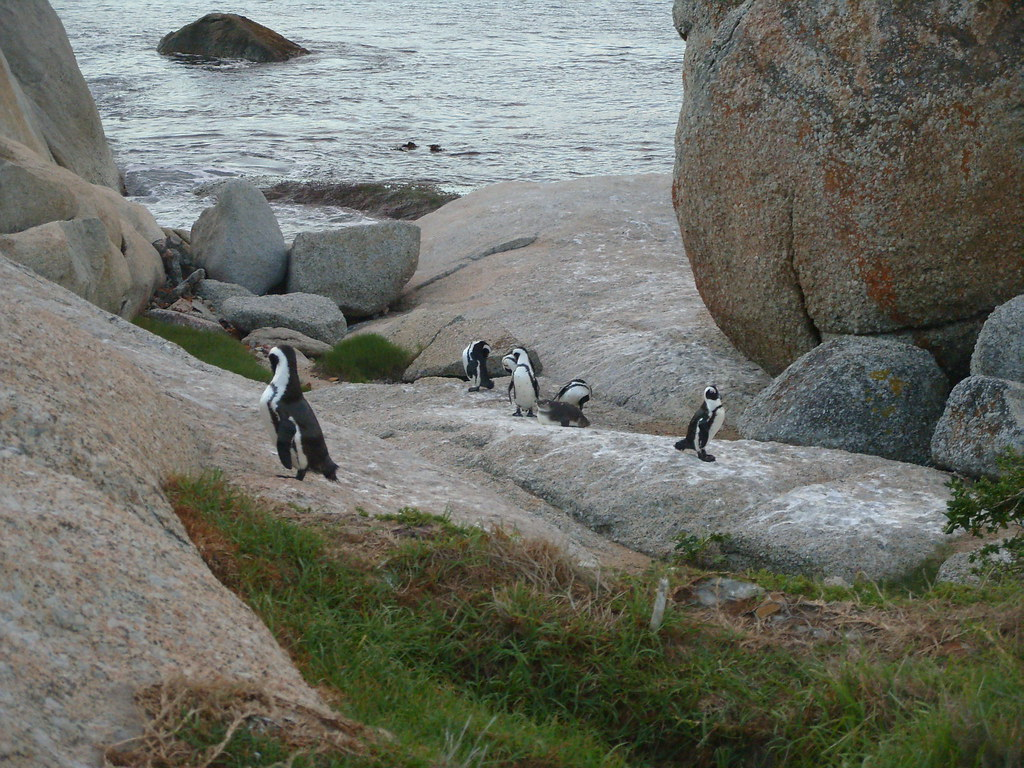 Boulders Beach, African penguins