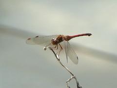 Backyard dragonfly