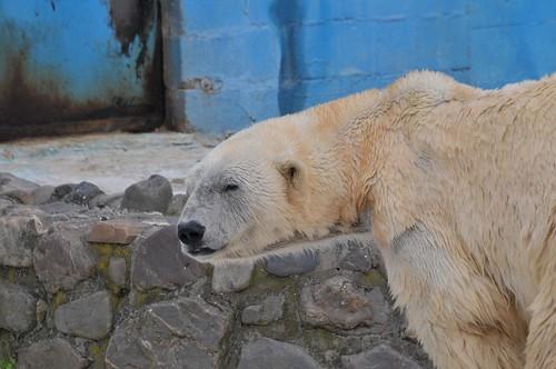 Eisbär Rocky in der Monde Sauvage Safari