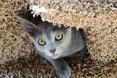[フリー画像] 動物, 哺乳類, 猫・ネコ, 201109230500