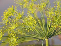 Lovely flowering dill