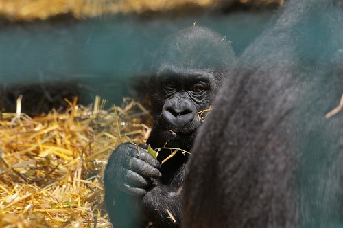 Gorilla Joshi im Howletts Wild Animal Park
