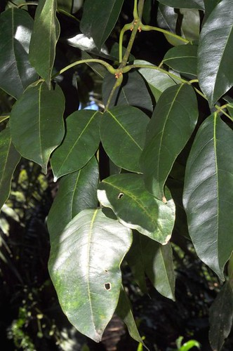 Ormosia ormandii