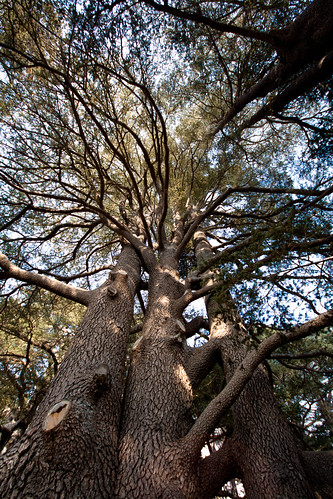 looking up at the cedars