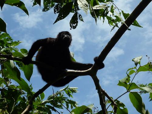 Affe auf Isla Boca Brava