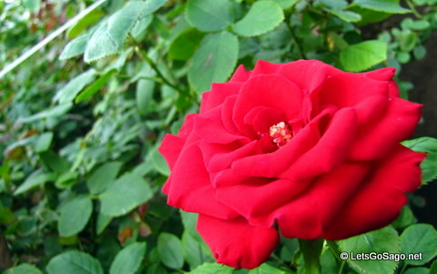 Another Red Rose in full bloom