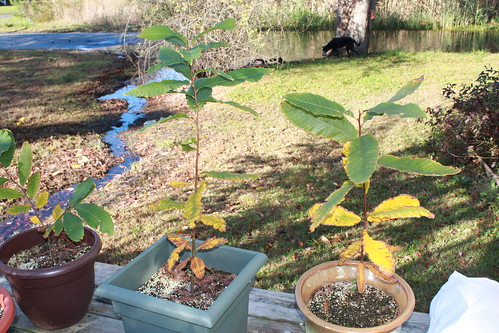 American Chestnuts - Take II - November 18 - Yellowing