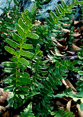 polypody fern on talus slope