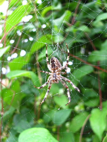 Spider in the front yard