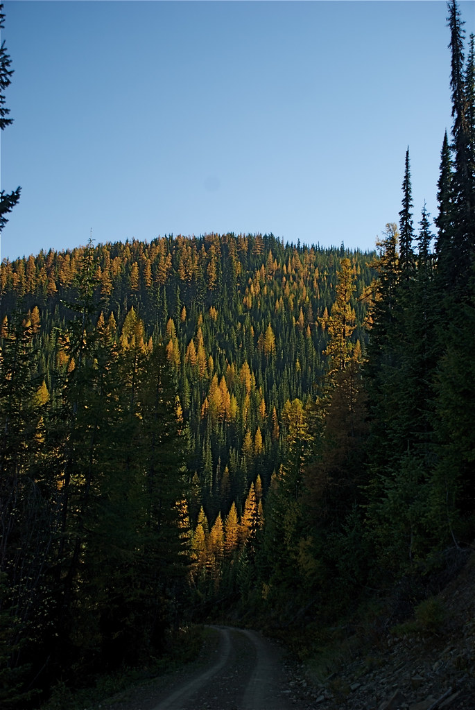 Fall larch along Dry Fork Road
