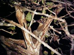 Lémur enmascarado pálido (Phaner pallescens)