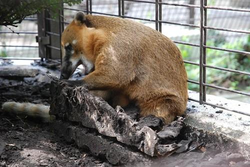 Südamerikanischer Nasenbär im Tiergarten Mönchengladbach