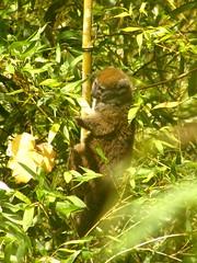 Lémur gris del bambú (Hapalemur griseus)