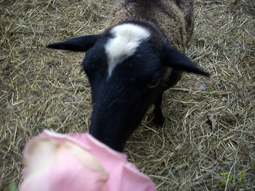 rose eating sheep