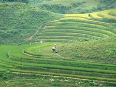 Cultivando arroz