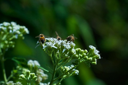 Bees on Frostweed