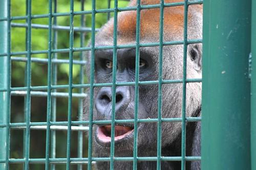 Gorilla Kouillou im Howletts Wild Animal Park