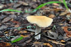 Hydnum umbilicatum (hedgehog mushroom)