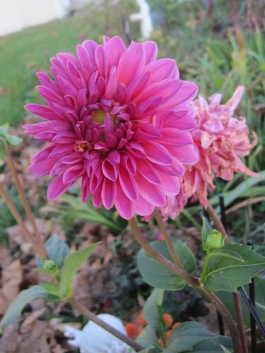 Pink dahlia, natural setting