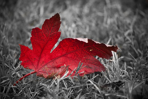 Selective Color Fall Leaf