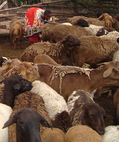 The worm-resistant red Maasai sheep of East Africa