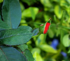 healthy rosebud