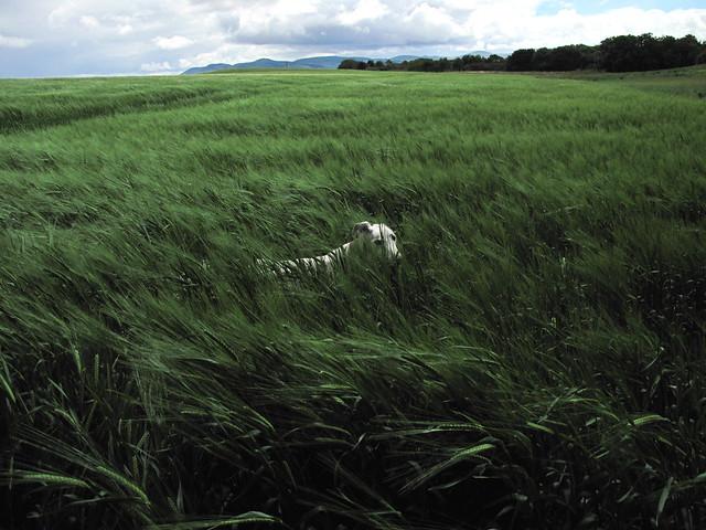 walking in barley