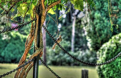 Mockingbird on a Chain