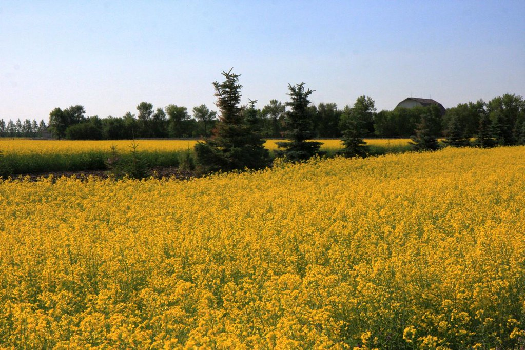 Rapeseed field in Alberta