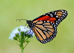 Monarch On Mistflower