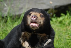 Malaienbär Chica im Kölner Zoo