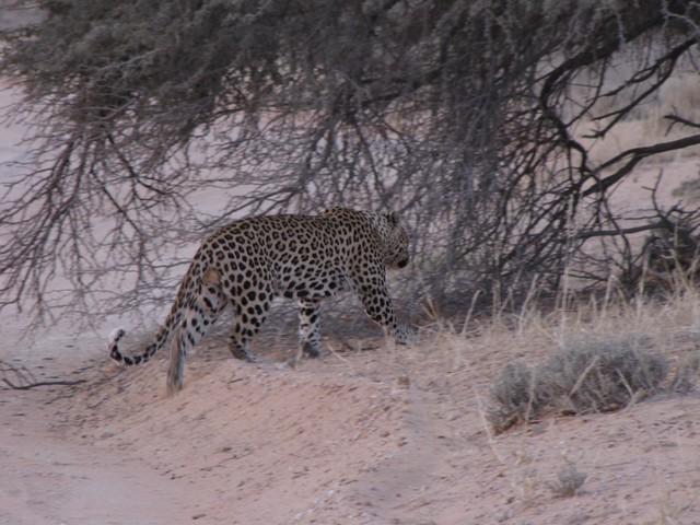 Photos of leopards