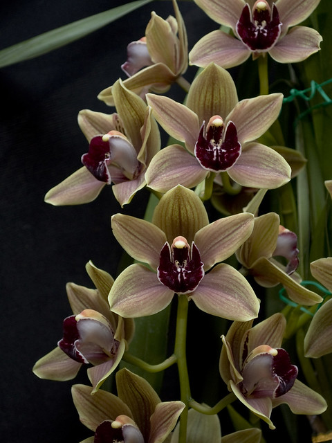 Cymbidium 'Friar Tuck' AM_AOS