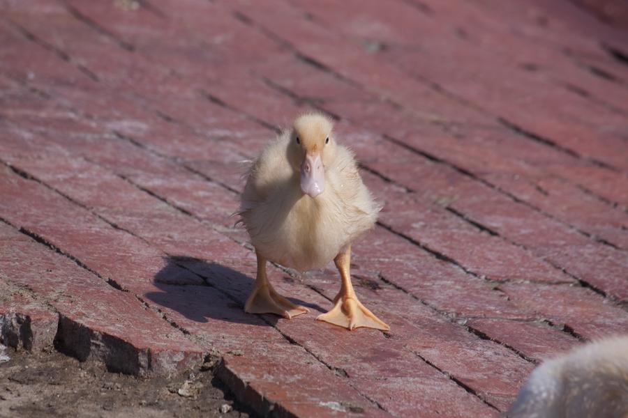 20110205_07_Beautiful Duckling_10
