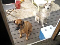 dogs begging for pork stew