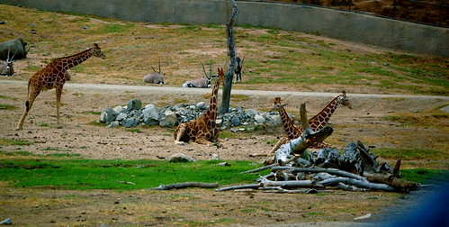 Mob of Giraffes