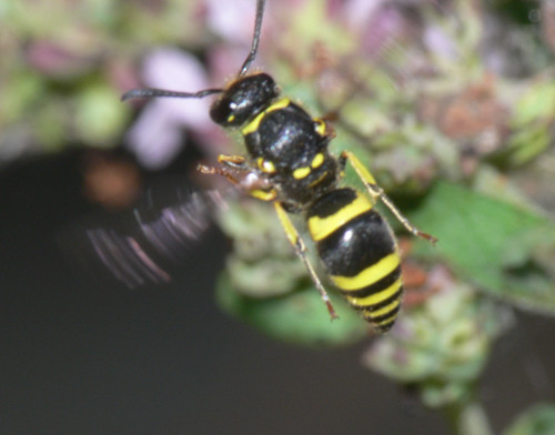Potter wasp (Ancistrocerus sp.)
