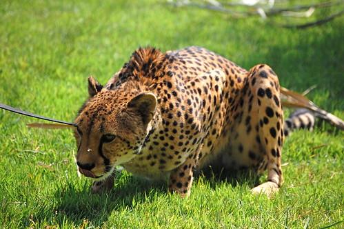 Crouching Cheetah