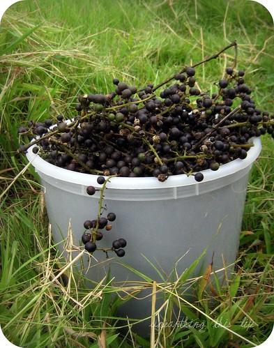 possum grapes