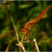 """Dragonfly #1 • <a style=""""font-size:0.8em;"""" href=""""http://www.flickr.com/photos/8038254@N06/4950579266/"""" target=""""_blank"""">View on Flickr</a>"""