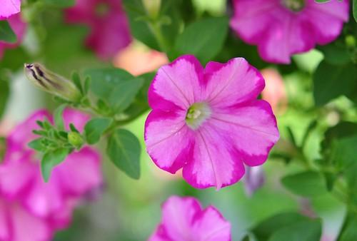 variegated petunias