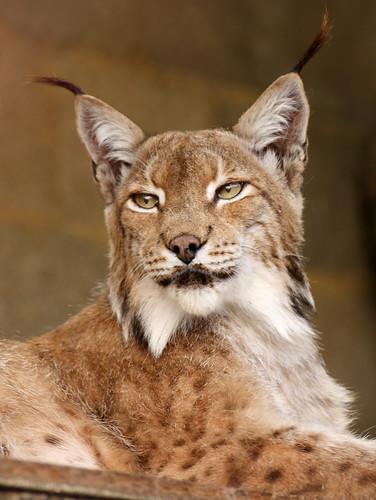 Lynx 9