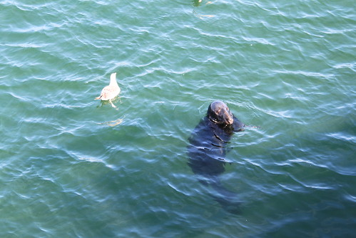 Cape Cod - Chatham Fishing Pier - Seal
