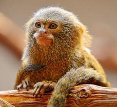 Pigmy marmoset