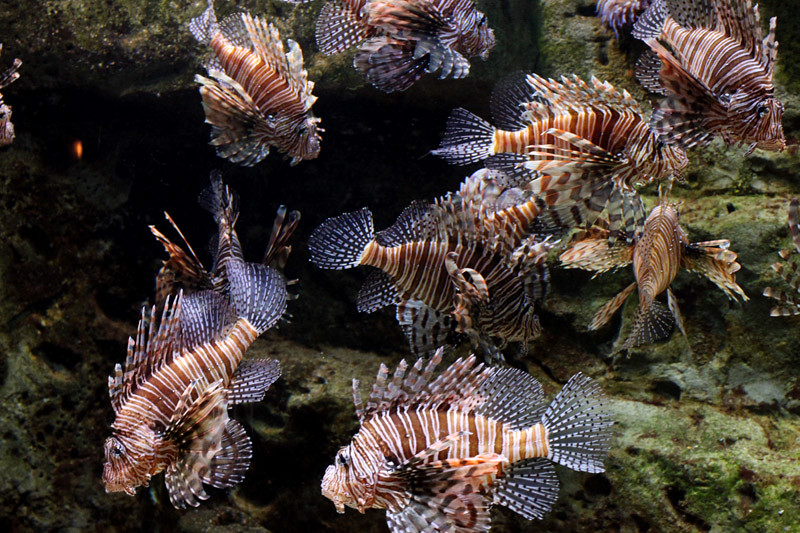 Herd of Striped Fish
